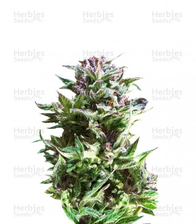 Buy Forest Dream feminized seeds