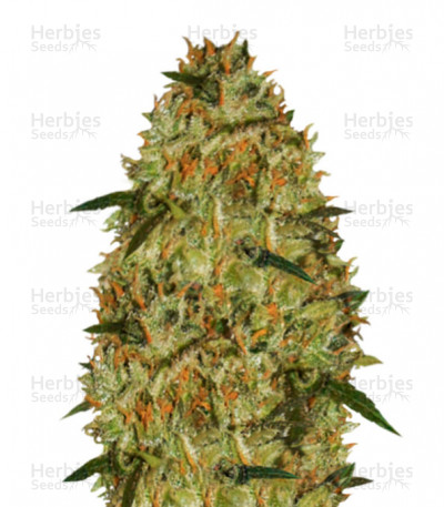 Buy Cheese feminized seeds