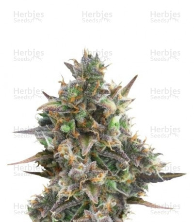 Buy Royal Bluematic Auto feminized seeds