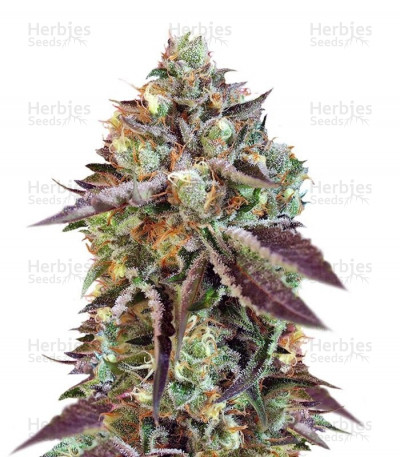Buy Sweet Nurse Auto CBD feminized seeds
