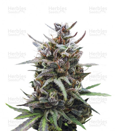 Buy Baby Boom Auto feminized seeds