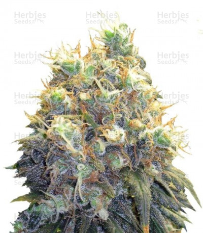Buy Bubblelicious feminized seeds