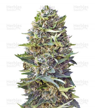 Buy Caramel Kush feminized seeds