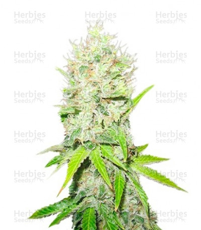 Buy Jack La Mota feminized seeds