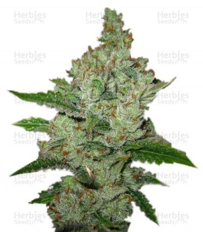 Buy Super Lemon Haze feminized seeds