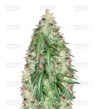 Buy Super Skunk Auto Fem seeds (Vision Seeds)