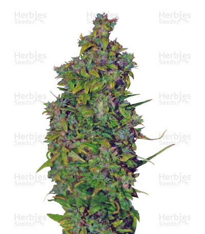 Buy VIP Dwarf Auto feminized seeds