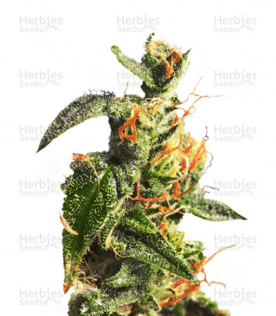 Buy Diesel Glue feminized seeds
