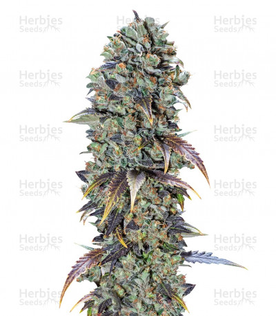Buy Chocolate Cream feminized seeds