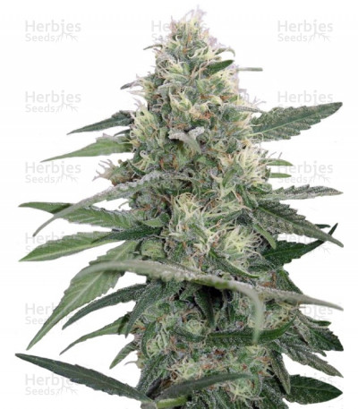 Buy Mandala #1 Regular seeds