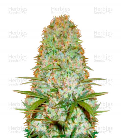 Buy Red Russian XXL feminized seeds