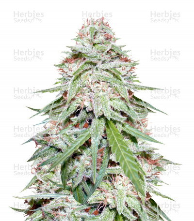 Buy Spinning Buzz Kick auto feminized seeds