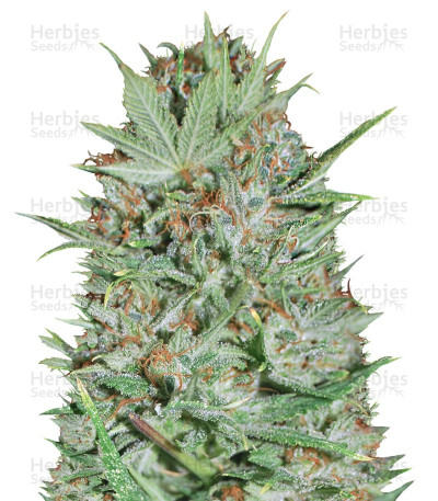 Buy Wembley feminized seeds