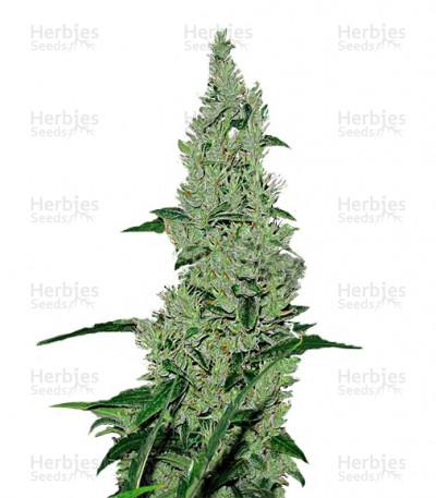 Buy Y Griega feminized seeds