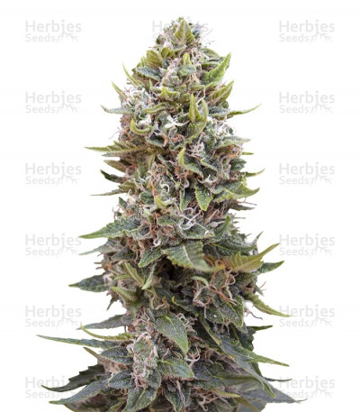 Buy Auto Hashchis Berry feminized seeds