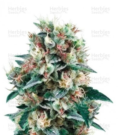 Buy Royal Creamatic Auto feminized seeds