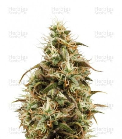 Buy Royal Jack Automatic feminized seeds