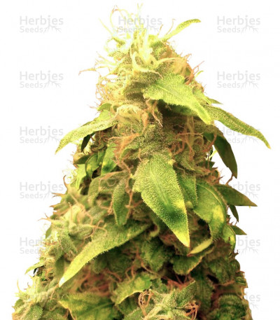 Buy New York City feminized seeds