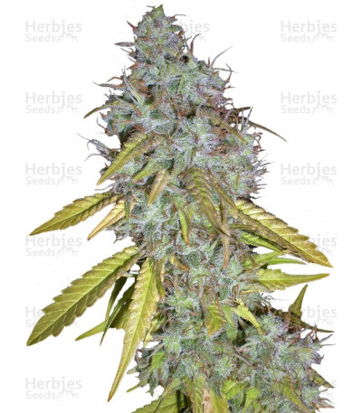 Buy Red Cherry Berry feminized seeds