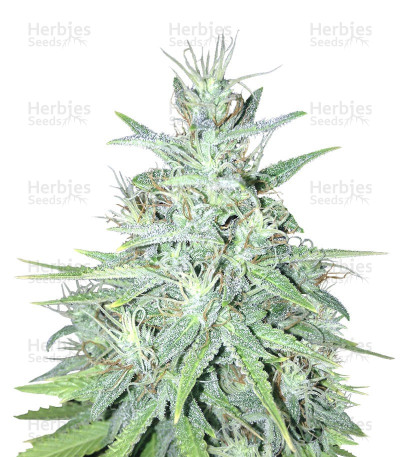 Buy Auto Tutankhamon feminized seeds