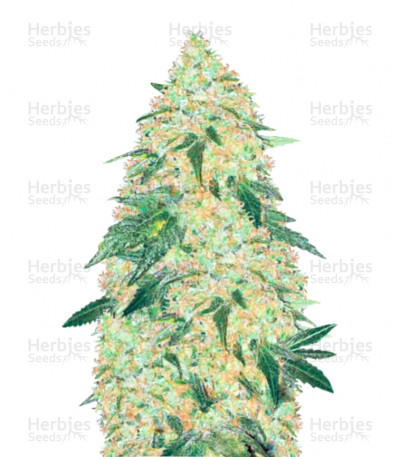 Buy Super Extra Skunk feminized seeds