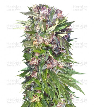 Buy Red Purps feminized seeds