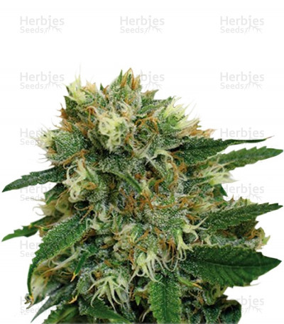 Buy Phatt Fruity feminized seeds
