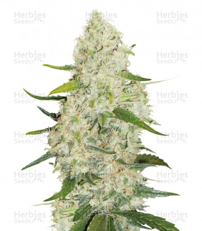 Buy Think Big Auto feminized seeds