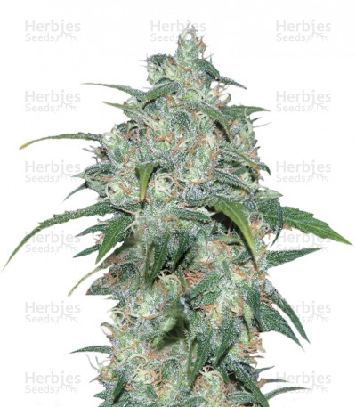 Buy Wild Thailand feminized seeds