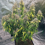 bcn-power-plant-autoflower-seed-stockers.jpg