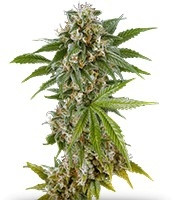 Kush'N'Cheese (Dinafem Seeds)