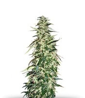 Puna Budder regular (T.H. Seeds)