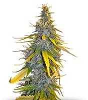 S.A.D. Sweet Afgani Delicious F1 Fast Version (Sweet Seeds)